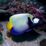 Emporer Fish