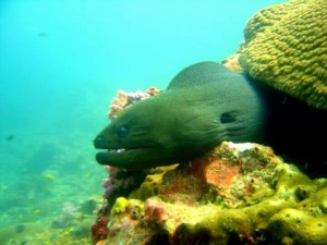 Morey Eel - Often seen on most Racha Yai Diving sites