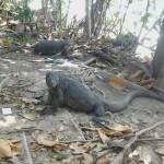 Lizards at Racha Yai